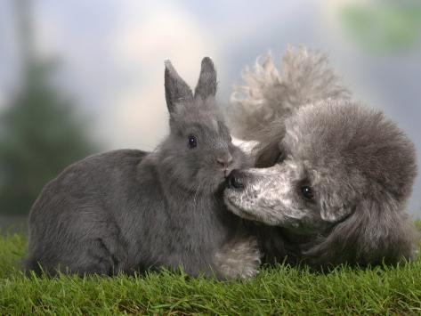 Silver Miniature Poodle Sniffing a Blue Dwarf Rabbit Photographic Print