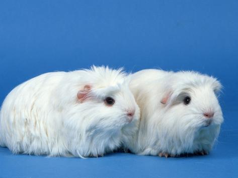 Two White Coronet Guinea Pigs Photographic Print