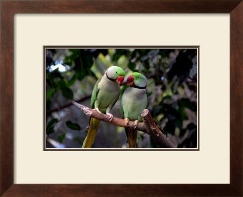 Parrot Love Framed Giclee Print