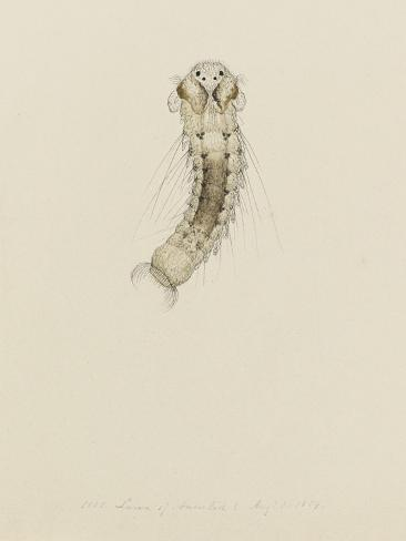 1001. Larva of Annelid, Aug. 1. 1854 Giclee Print
