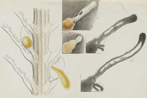 Antennularia: Hydrozoan Giclee Print