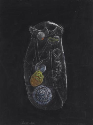 Asplanchna: Rotifer Giclee Print