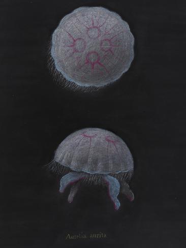 Aurelia Aurita: Moon Jellyfish Giclee Print