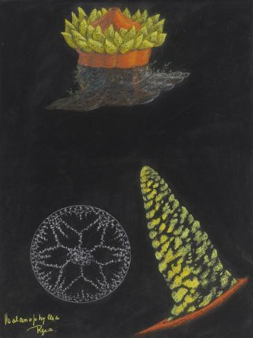 Balanophyllia Regia: Scarlet and Gold Star-Coral Giclee Print