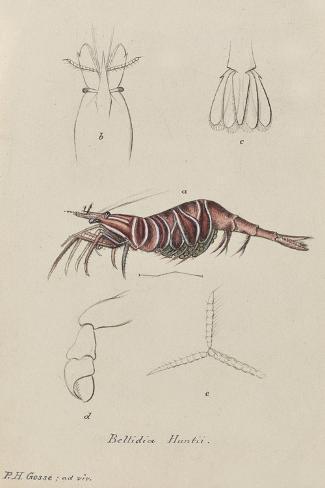 Bellidia Huntii: Shrimp Giclee Print