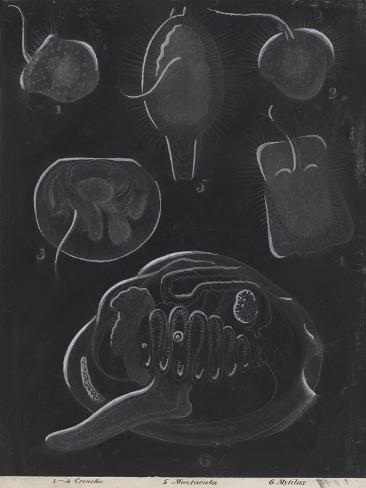 Bivalve Molluscs Giclee Print