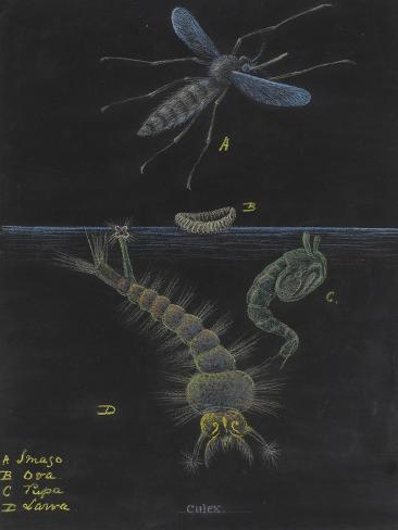 Culex: Mosquito Giclee Print