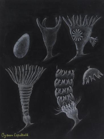 Cyanea Capillata: Lion's Mane Jellyfish Giclee Print