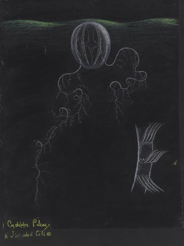 Cydippe Pileus: Sea Gooseberry Giclee Print