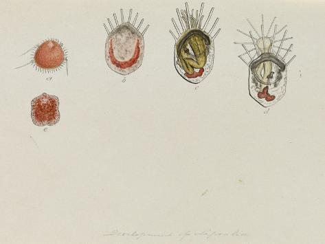 Development of Lepralia: Bryozoan Giclee Print