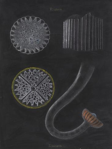 E Miliaris and E Sphaera: Sea Urchin Giclee Print