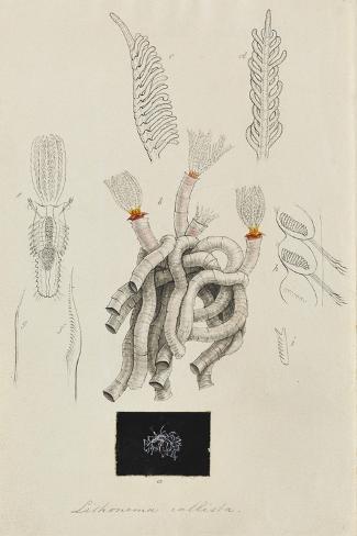 Lithonema Callista: Marine Worm Giclee Print