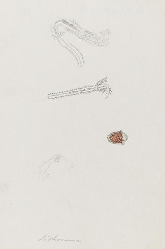 Lithonema: Marine Worm Giclee Print