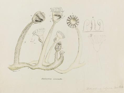 Pedicellina Belgica Giclee Print
