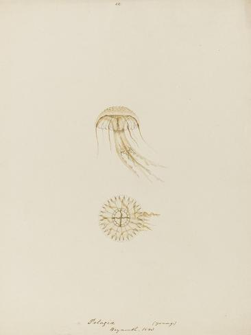 Pelagia (Young), Weymouth, 1843: Pelagia Noctiluca: Jellyfish Giclee Print