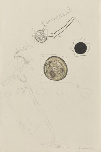 Plumularia Pinnata: Hydroid Giclee Print