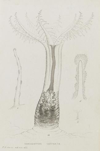 Sarcodictyon Catenata: Soft Coral Giclee Print