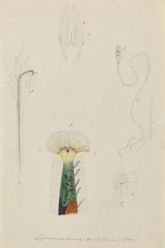 Siphonostoma Vestitum (Gosse): Marine Bristle Worm Giclee Print
