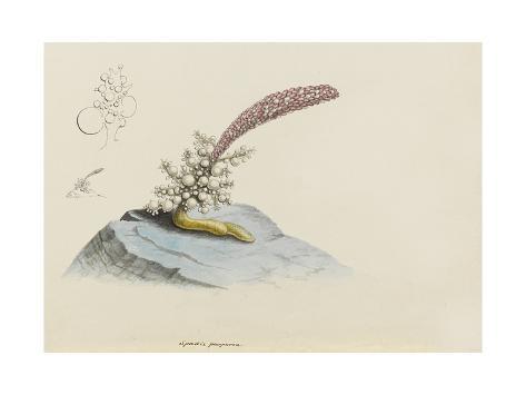 Spadix Purpurea: Hydroid Giclee Print