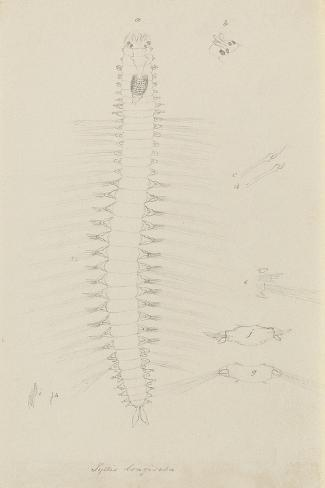 Syllis Longiseta: Marine Bristle Worm Giclee Print