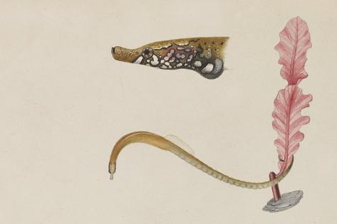 Syngnathus Lumbriciformis: Pipefish Giclee Print
