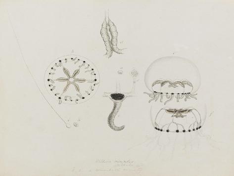 Willsia Stellata: Jellyfish Giclee Print