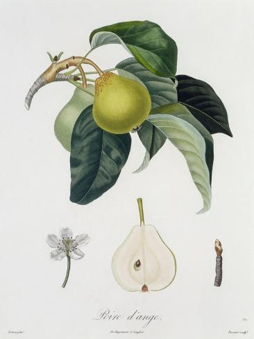 Poire D'Ange, Engraved by Bocourt, Published 1755 Lámina giclée