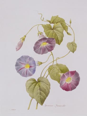 Ipomoea Violacea (Morning Glory) Giclee Print