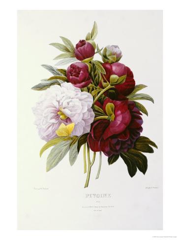 Peonies Giclee Print