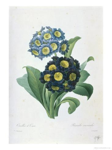 Primula Auricula Giclee Print