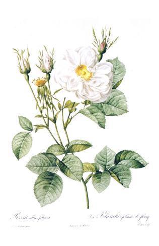 Redoute Rosa Alla Foliacea Art Print