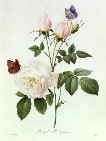 Rosa Bengale the Hymenes Giclee Print