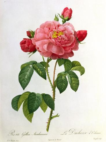 Rosa Gallica Aurelianensis Giclee Print