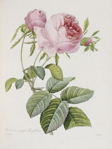 Rose, Engraved by Eustache Hyacinthe Langlois Giclee Print