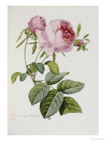 Rose Giclee Print