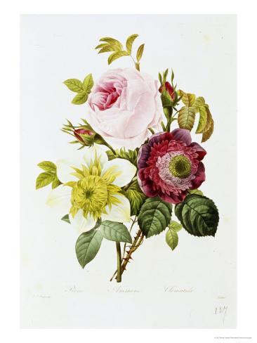 Study of Pink Roses and Convulvulus Giclee Print