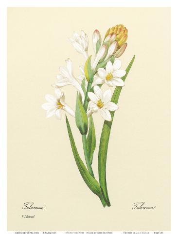 White Tuberose, c.1833 Impressão artística