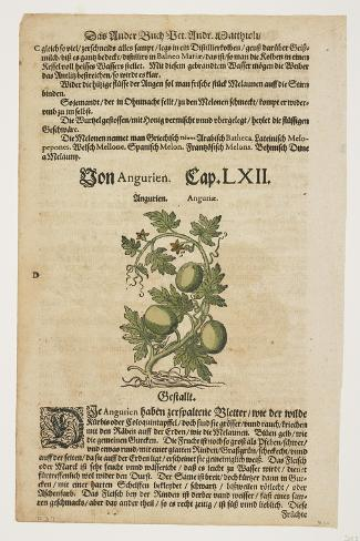 Von Angurien, from Commentarii in Sex Libros Pedacii Dioscoridis, 1544-85 (Hand-Coloured Woodcut) Stampa giclée