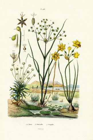 Pipewort, 1833-39 Stampa giclée