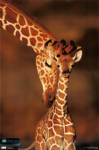 Planet Earth - Giraffe Poster