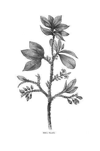 Plants, Erythroxylon Coca Stampa giclée
