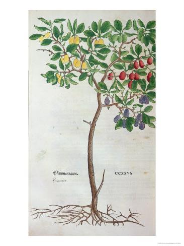 Plum Tree, a Botanical Plate from the Herbarium by Leonhart Fuchs Impressão giclée