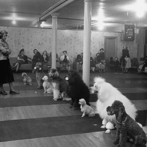 Poodle's Being Trained in Obedience School Photographic Print