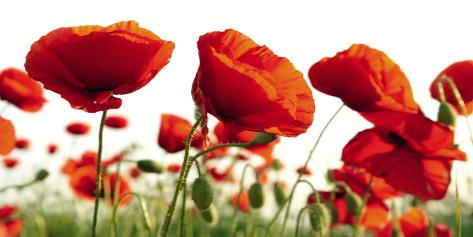 Poppy Blossoms Art Print