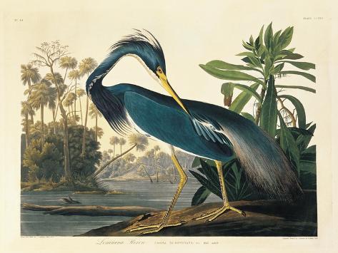 Louisiana Heron Plate 217 Premium Giclee Print