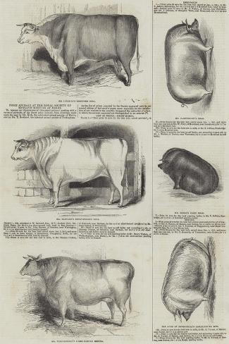 Prize Animals at the Royal Society of England Meeting at Derby Giclee Print