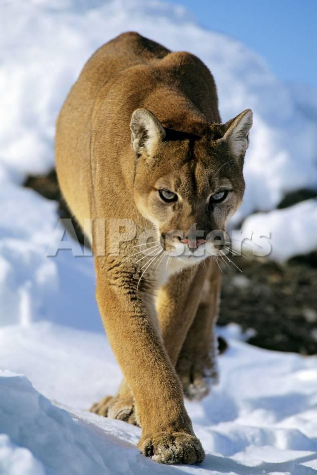 Puma in Winter Lámina fotográfica en AllPosters.es
