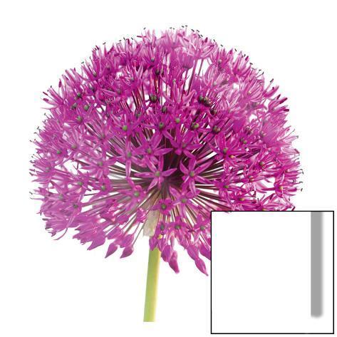 Purple Allium I Art on Glass
