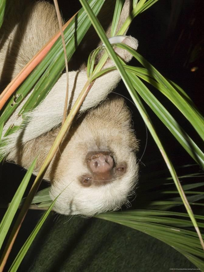 Sloth Manuel Antonio Costa Rica Central America Photographic