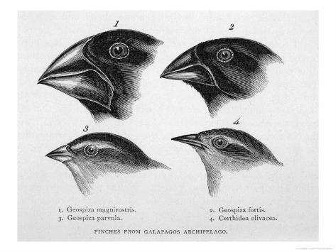 Finches from the Galapagos Islands Observed by Darwin Lámina giclée ...